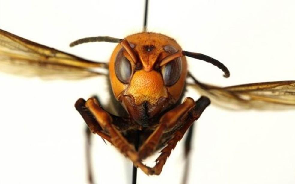 """O que é verdade e o que é mentira sobre as tais """"vespas assassinas""""? É tudo exagero?"""