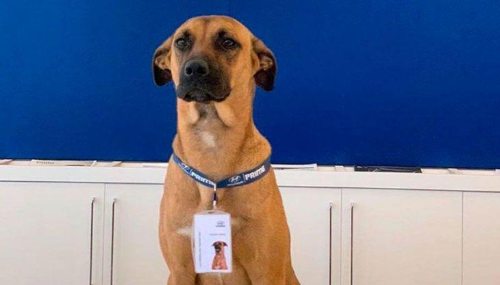 """Cachorro é adotado por concessionária de carros e ganha até crachá: """"cãosultor"""""""